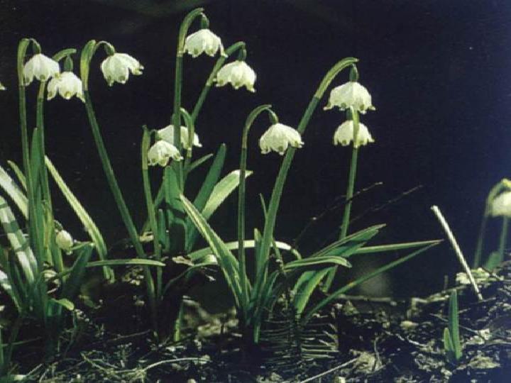 Rośliny okrytozalążkowe jednoliścienne - Slajd 19