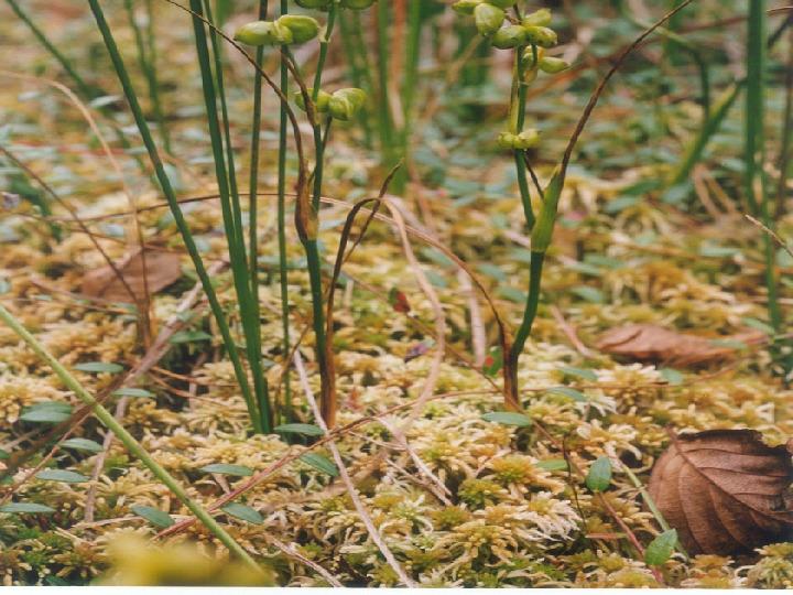 Rośliny okrytozalążkowe jednoliścienne - Slajd 20