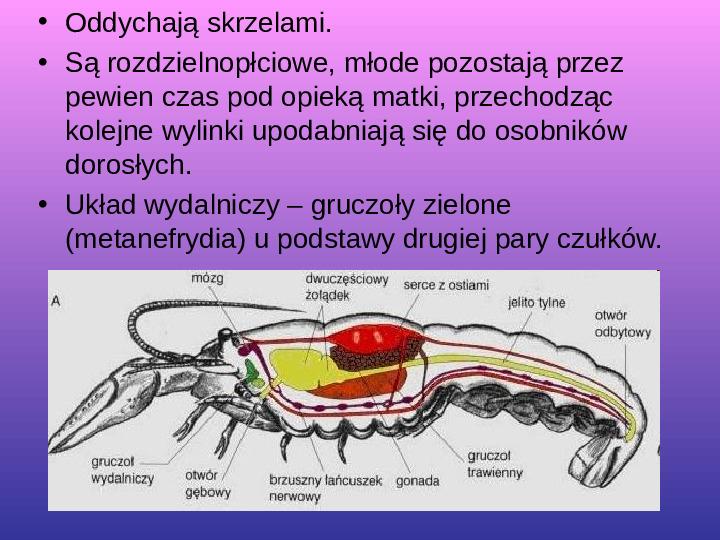 Skorupiaki i pajęczaki - Slajd 12