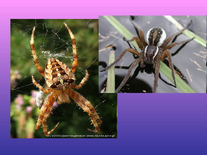 Skorupiaki i pajęczaki - Slajd 16