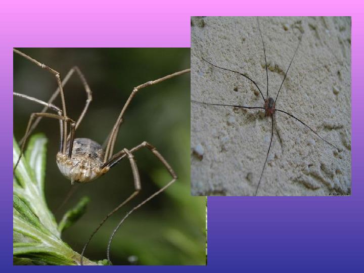 Skorupiaki i pajęczaki - Slajd 17