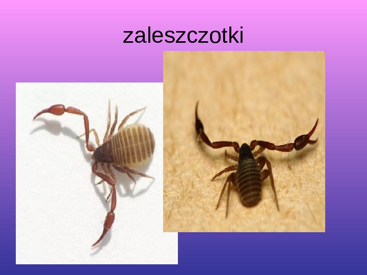 Skorupiaki i pajęczaki - Slajd 19