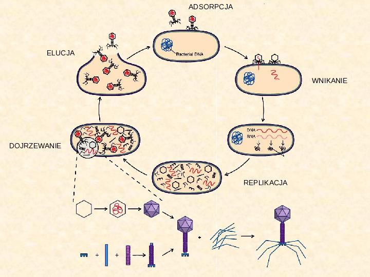 Wirusy - Slajd 16
