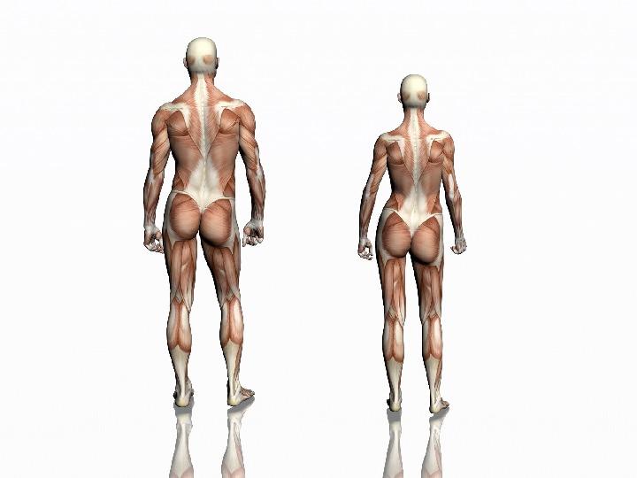 Mięśnie - narządu ruchu czynnego - Slajd 3