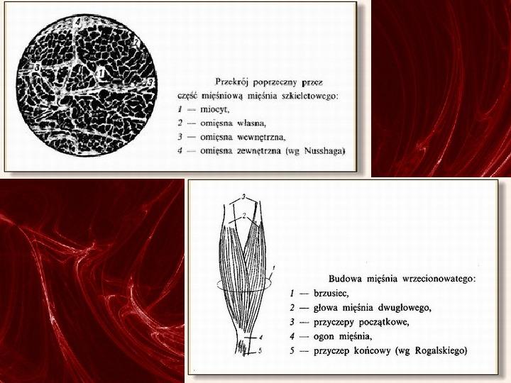 Mięśnie - narządu ruchu czynnego - Slajd 14