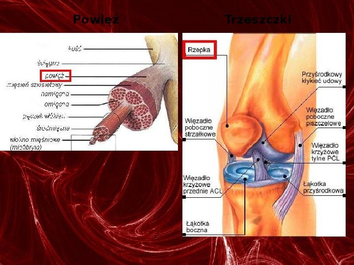Mięśnie - narządu ruchu czynnego - Slajd 19