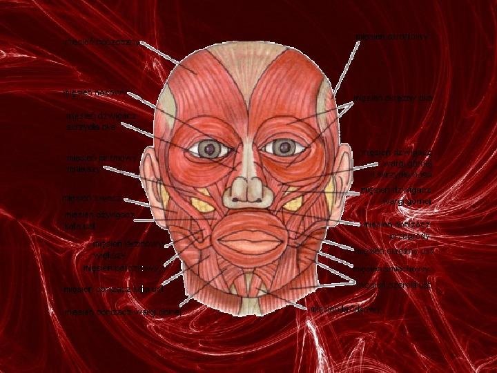 Mięśnie - narządu ruchu czynnego - Slajd 27