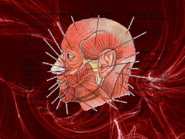 Mięśnie - narządu ruchu czynnego - Slajd 28
