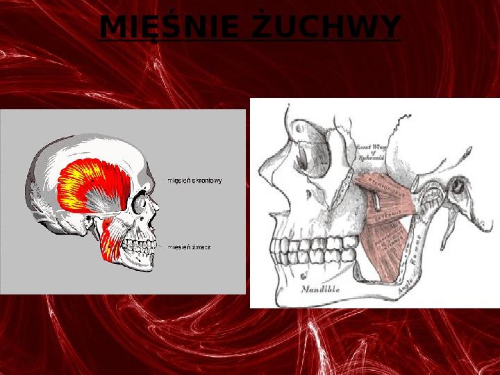 Mięśnie - narządu ruchu czynnego - Slajd 31