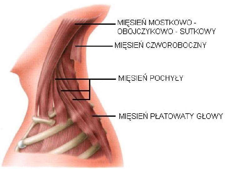 Mięśnie - narządu ruchu czynnego - Slajd 38