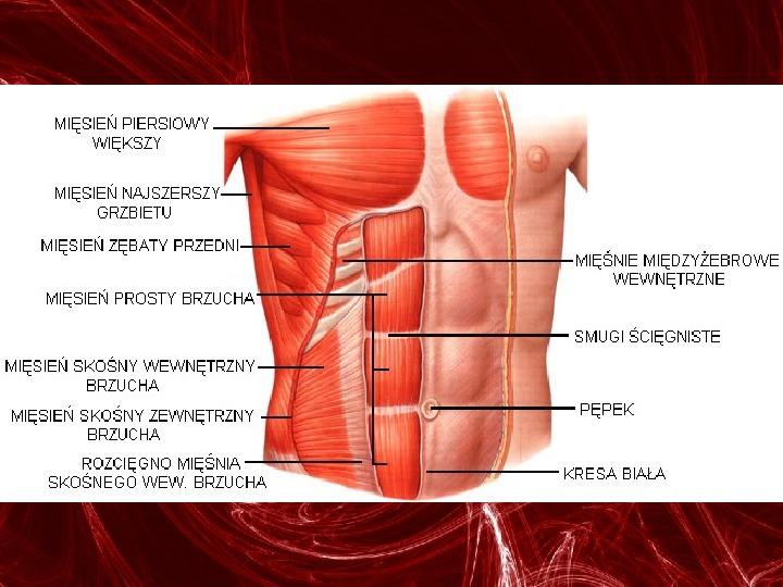 Mięśnie - narządu ruchu czynnego - Slajd 54