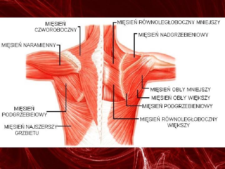 Mięśnie - narządu ruchu czynnego - Slajd 59
