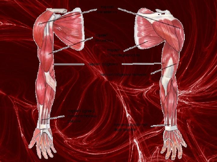Mięśnie - narządu ruchu czynnego - Slajd 61