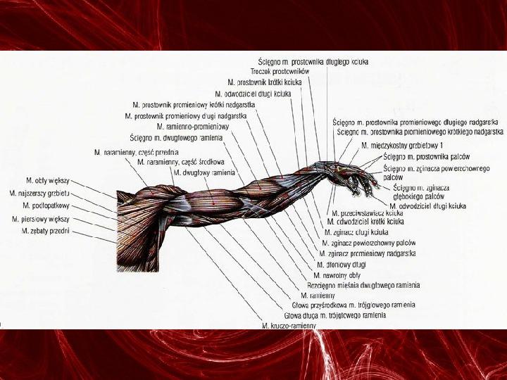 Mięśnie - narządu ruchu czynnego - Slajd 71
