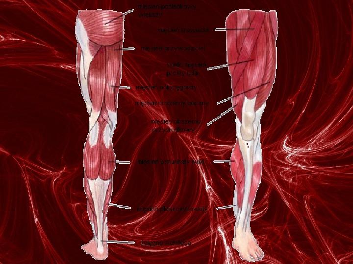 Mięśnie - narządu ruchu czynnego - Slajd 81