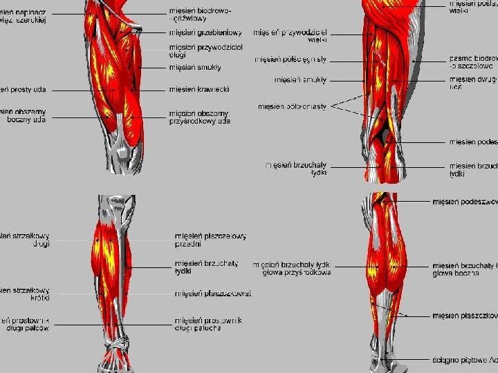 Mięśnie - narządu ruchu czynnego - Slajd 82