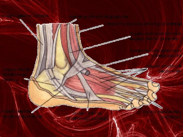Mięśnie - narządu ruchu czynnego - Slajd 83