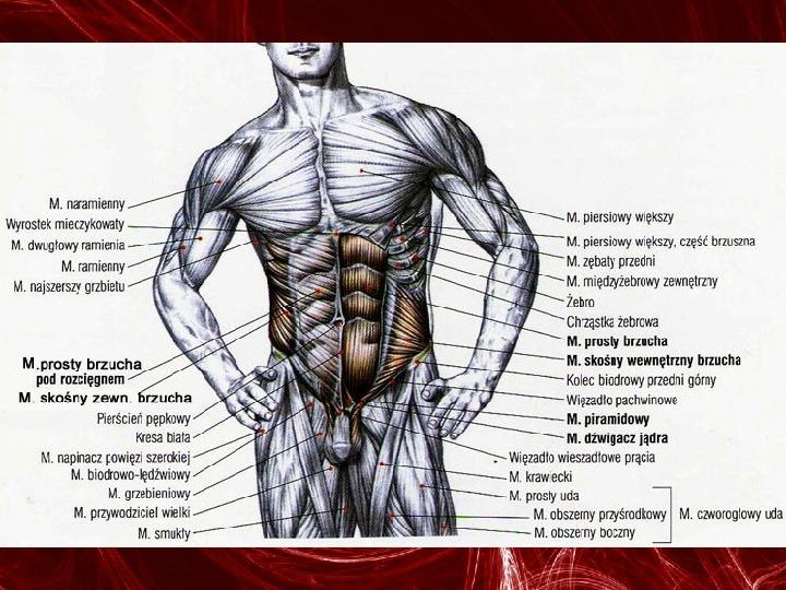 Mięśnie - narządu ruchu czynnego - Slajd 85