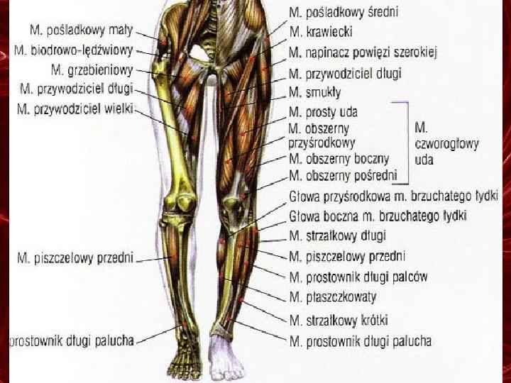 Mięśnie - narządu ruchu czynnego - Slajd 86
