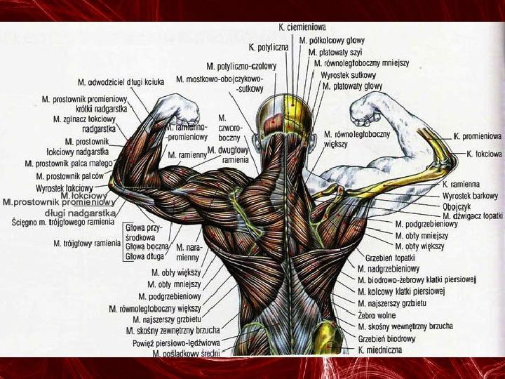 Mięśnie - narządu ruchu czynnego - Slajd 87