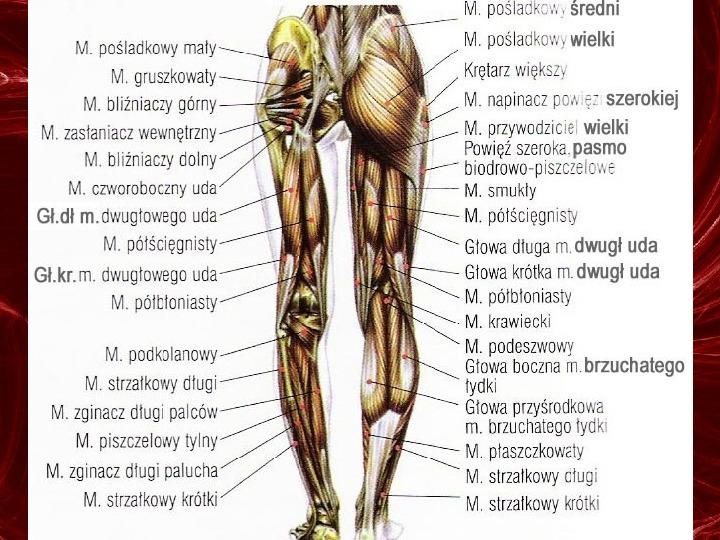 Mięśnie - narządu ruchu czynnego - Slajd 88