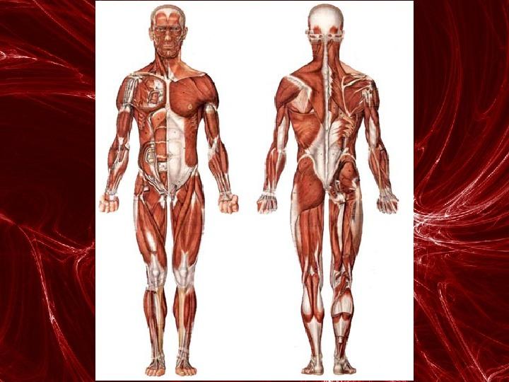 Mięśnie - narządu ruchu czynnego - Slajd 89