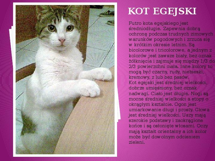 Kilka najpopularniejszych ras kotów - Slajd 10