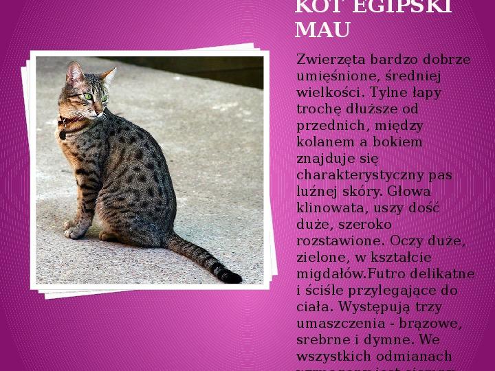 Kilka najpopularniejszych ras kotów - Slajd 11