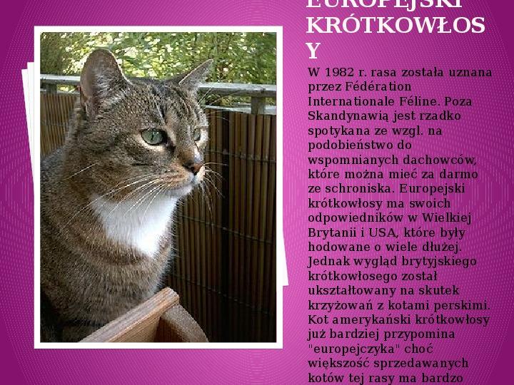 Kilka najpopularniejszych ras kotów - Slajd 13