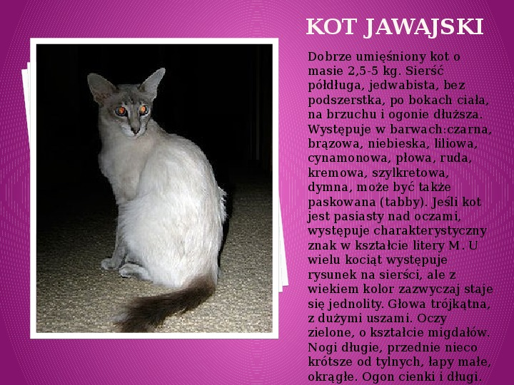 Kilka najpopularniejszych ras kotów - Slajd 15