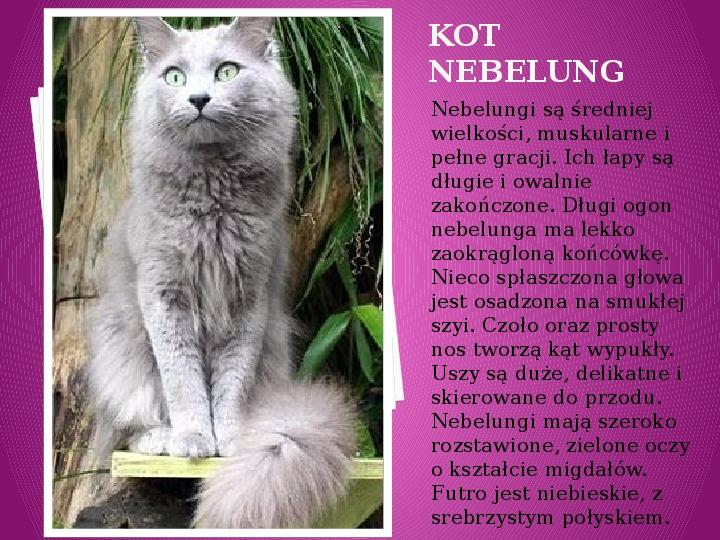 Kilka najpopularniejszych ras kotów - Slajd 22