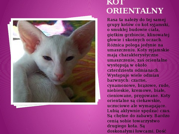 Kilka najpopularniejszych ras kotów - Slajd 26