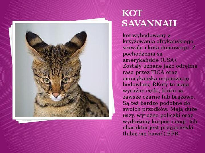 Kilka najpopularniejszych ras kotów - Slajd 35