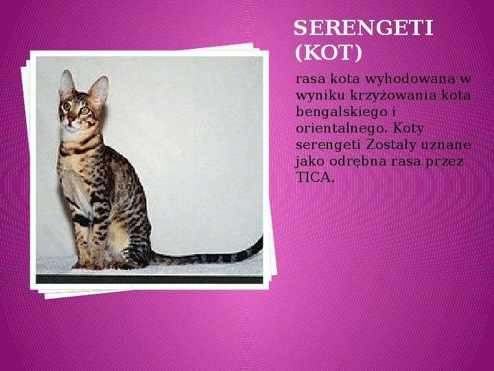 Kilka najpopularniejszych ras kotów - Slajd 36