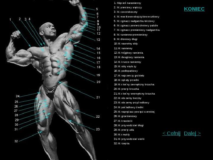 Mięśnie szkieletowe człowieka - Slajd 4
