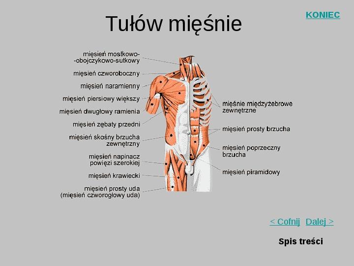 Mięśnie szkieletowe człowieka - Slajd 8