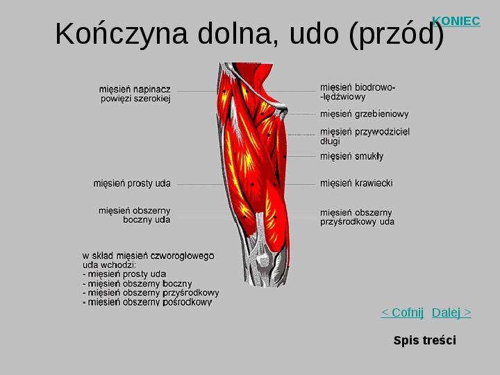 Mięśnie szkieletowe człowieka - Slajd 14