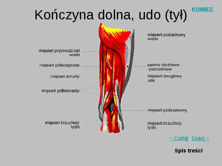 Mięśnie szkieletowe człowieka - Slajd 15