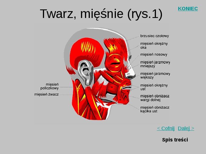 Mięśnie szkieletowe człowieka - Slajd 19