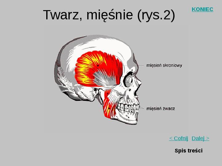 Mięśnie szkieletowe człowieka - Slajd 20
