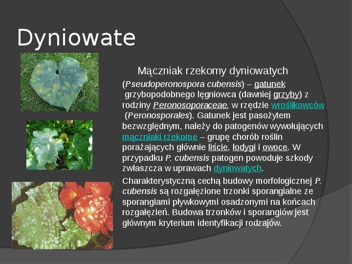 Choroby roślin warzywnych - Slajd 60