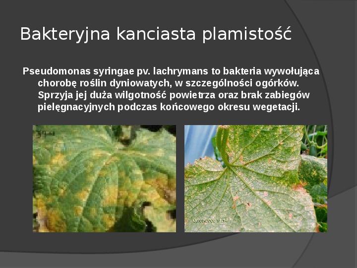 Choroby roślin warzywnych - Slajd 62