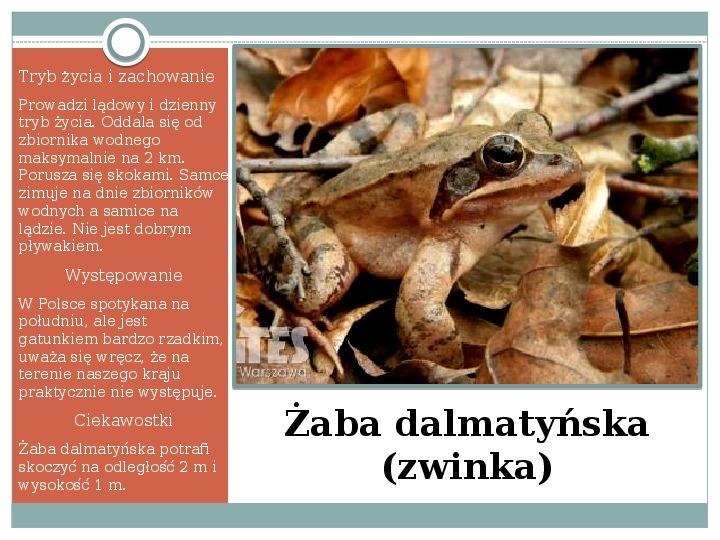 Płazy - zwierzęta zmiennocieplne - Slajd 29